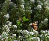 Painted Lady Butterfly on White Flowers stock image
