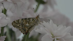 Painted lady butterfly underwing stock footage