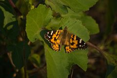 Painted Lady Butterfly (Vanessa cardui). With broken wing Stock Photography