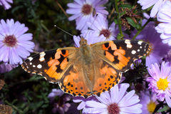 Painted Lady butterfly, Vanessa cardui Stock Photography