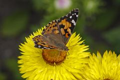 Painted Lady butterfly (Vanessa cardui) Stock Photography