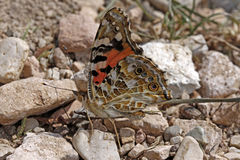Painted Lady butterfly (Vanessa cardui) stock images