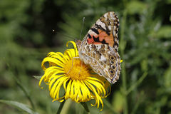 Painted Lady butterfly (Vanessa cardui) Stock Photo