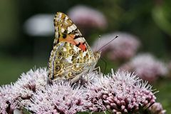 Painted Lady butterfly (Vanessa cardui) Royalty Free Stock Photos