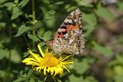 Painted Lady butterfly (Vanessa cardui) Royalty Free Stock Images
