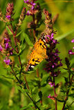 Painted lady butterfly (Vanessa cardui) Stock Photos