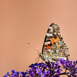 Painted Lady butterfly (Vanessa cardui) Royalty Free Stock Photo