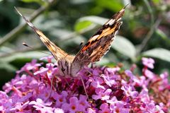 Painted lady butterfly, Vanessa cardui, adult on purple syringa flowers royalty free stock photography