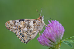Painted lady butterfly Vanessa cardui. Painted lady Vanessa cardui aka cosmopolitan on red clover Trifolium pratense Stock Image