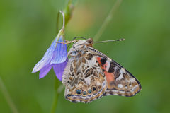 Painted lady butterfly Vanessa cardui. Painted lady Vanessa cardui aka cosmopolitan, resting on a bellflower Campanula sp. after the eclosion and assembling the Royalty Free Stock Image