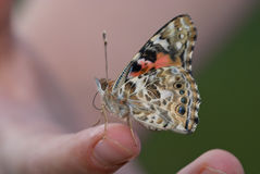 Painted lady butterfly Vanessa cardui Stock Images