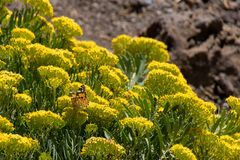 Painted lady butterfly Vanessa cardui collecting nectar from wild yellow flowers, La Palma, Canary Islands, Spain stock photos