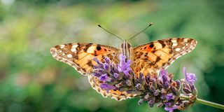 Painted Lady Butterfly, Vanessa cardui on Lavender stock photos