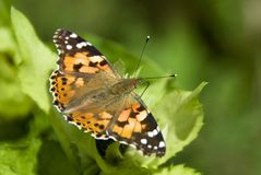 Painted Lady butterfly - Vanessa cardui Stock Image