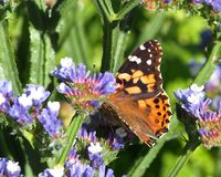 Painted Lady Butterfly Or Vanessa Cardui On Statice Stock Photos
