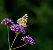 Painted Lady butterfly on Verbena Bonariensis royalty free stock photos