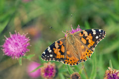 Painted Lady. A Painted Lady Butterfly on a Wild Flower Stock Photos