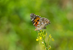 Painted Lady butterfly on a wild flower Royalty Free Stock Photography