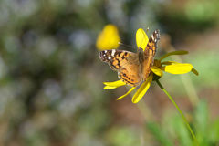 Painted Lady butterfly on yellow daisy Royalty Free Stock Photo