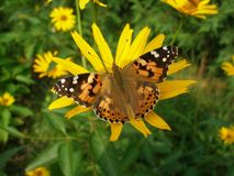 Painted lady butterfly. On yellow flower Stock Image