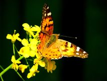 Painted lady butterfly on a yellow flower. Macro photo of a painted lady butterfly, Vanessa Cynthia, on a rapeseed flower Royalty Free Stock Photo
