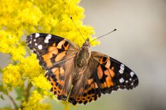 Painted Lady butterfly on yellow plant royalty free stock images