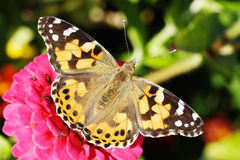 Painted lady butterfly on zinnia flower. Painted lady butterfly (Vanessa cardui) on zinnia flower stock photo