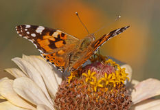 Painted Lady butterfly on zinnia flower Stock Photography