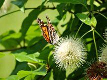 Painted Lady on Button Bush Royalty Free Stock Photos