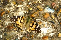 Painted Lady on concrete. stock images