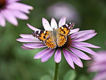 Painted lady Stock Image