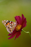 Painted Lady with cosmos. Painted Lady butterfly with cosmos lower Royalty Free Stock Photo