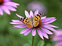 Painted lady, Cynthia cardui Royalty Free Stock Image