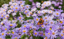 Painted lady on daisies Royalty Free Stock Photography