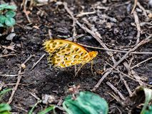 Painted Lady on the dirt. royalty free stock photo