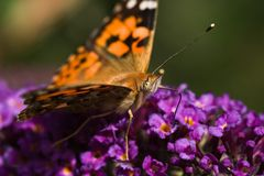 Painted Lady drinking. Nectar from Budleya Royalty Free Stock Photography
