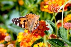 Painted lady on flower. Closeup painted lady butterfly (Vanessa cardui) feeding on flower (Lantana camara royalty free stock photography