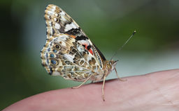 Painted Lady on hand Stock Photos