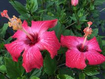Painted lady hibiscus Stock Photography