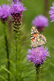 Painted lady on a liatris flower. Painted lady resting on a pink liatris flower with other flowers in the background Stock Photos