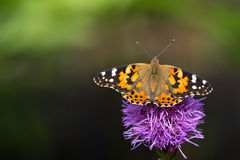 Painted lady on a liatris flower. Painted lady with spread wings on a pink liatris flower Royalty Free Stock Photos