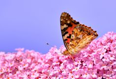 Painted Lady on Lilac flower Stock Photo