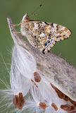 Painted Lady on milkweed. A painted lady butterfly is perched on a milkweed pod that is going to seed Stock Photography