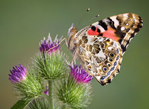 Painted Lady On Burdock Stock Photo