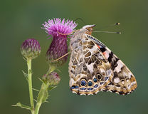 Painted Lady On Canadian Thistle Stock Photo