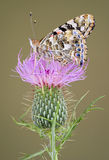 Painted Lady On Thistle Royalty Free Stock Photo