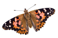Painted Lady On White Royalty Free Stock Images