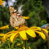 Painted Lady on Periannial Coneflower. E view of Vanessa Cardui called Cosmopolitan butterfly on Rudbeckia Fulgida flower. Photo in 1:1 format Royalty Free Stock Image
