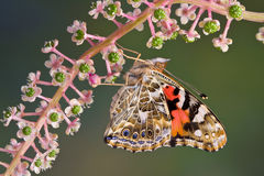 Painted Lady on Pokeweed Stock Photography