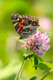 Painted Lady on Purple Clover Royalty Free Stock Images